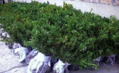 山东省烟台市长岛县曼地亚红豆杉 0.5米以下