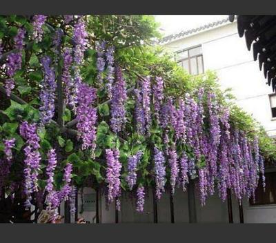 山东省临沂市兰山区重瓣紫藤 1.5~2米 5公分以上