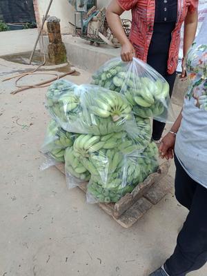 云南省红河哈尼族彝族自治州泸西县西贡蕉 八成熟