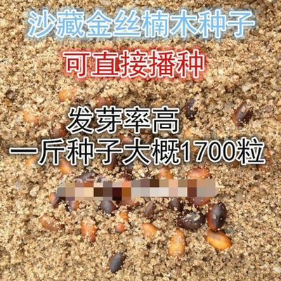 江西省吉安市遂川县金丝楠木种子