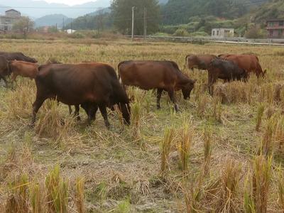 湖南省郴州市安仁县黄牛 400-600斤 母牛