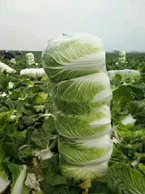 河南省商丘市夏邑县夏邑大白菜 5.0斤 净菜