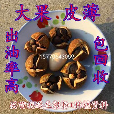 江西省吉安市遂川县油茶苗