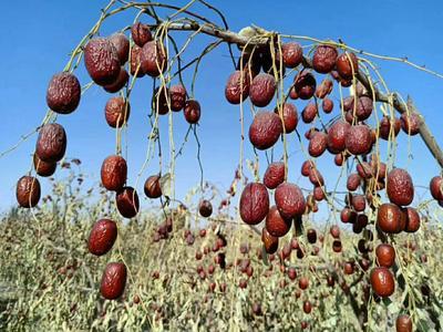 新疆维吾尔自治区阿克苏地区阿瓦提县若羌灰枣 三级