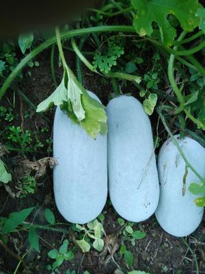 云南省普洱市思茅区香冬瓜 2斤以上 白霜