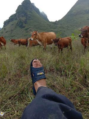 广西壮族自治区河池市环江毛南族自治县环江香牛 600-800斤 公牛
