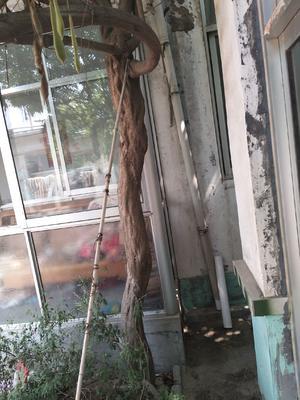 山东省潍坊市青州市丰花紫藤 2.5~3米 5公分以上