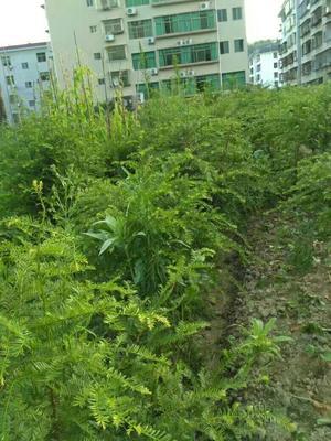 湖南省郴州市桂东县南方红豆杉 3~3.5米