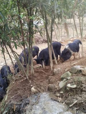 江西省赣州市大余县从江香猪 60斤以上