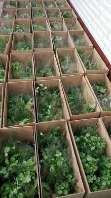 河北省廊坊市安次区大叶香菜 25~30cm