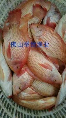 广东省佛山市高明区台湾泥鳅 50-60尾/公斤 3-5cm 人工养殖