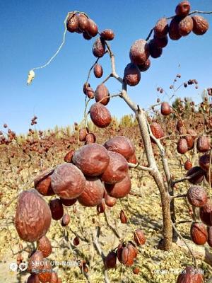 新疆维吾尔自治区阿克苏地区温宿县新疆红枣 统货