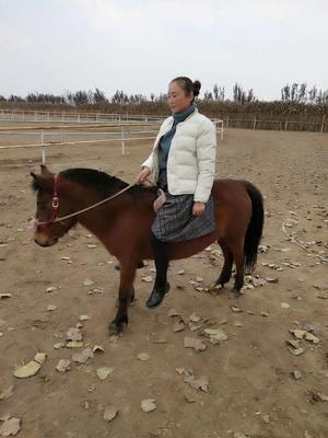 山东省济宁市梁山县改良矮马 200-400斤