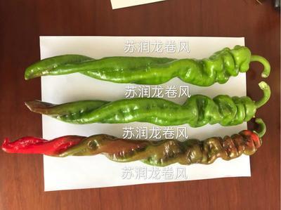 山东省临沂市兰陵县螺丝椒种子 ≥95% ≥97% 杂交种