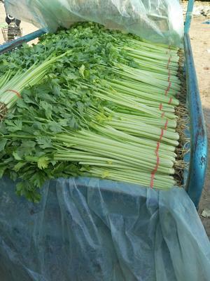 山东省聊城市东昌府区香芹 40~45cm 大棚种植 0.5斤以下