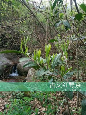 江西省九江市武宁县野生红茶 袋装 一级