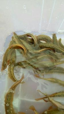 广西壮族自治区来宾市象州县台湾泥鳅 65尾/公斤 5-8cm 人工养殖