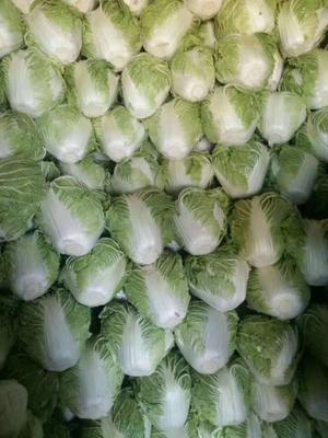 河南省焦作市博爱县秦杂二号大白菜 6~10斤 净菜
