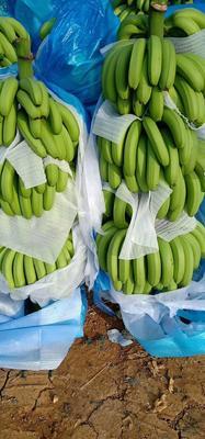 云南省红河哈尼族彝族自治州建水县蛮耗香蕉 七成熟