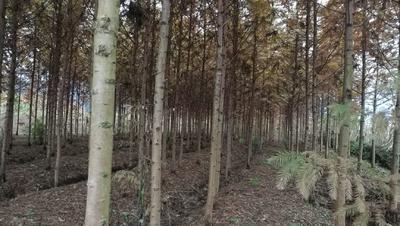 湖北省恩施土家族苗族自治州利川市金叶水杉
