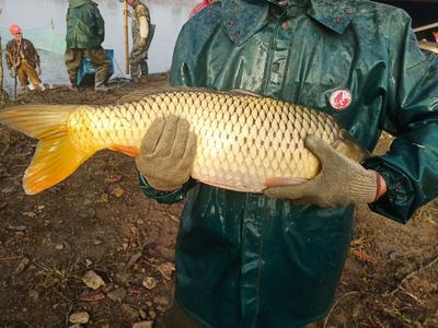 安徽省滁州市来安县池塘鲤鱼 人工养殖 1.5-3.5公斤
