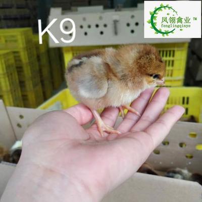 广西壮族自治区南宁市兴宁区k9肉鸡苗882