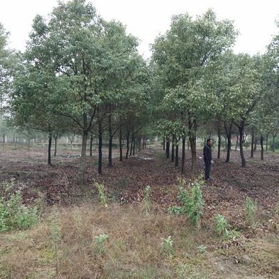 广西壮族自治区桂林市全州县樟树苗