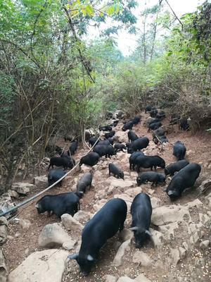 广西壮族自治区河池市环江毛南族自治县环江山猪 40-60斤 统货