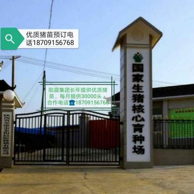陕西省安康市汉滨区三元仔猪