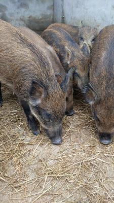 四川省绵阳市江油市特种野猪 40-60斤 统货