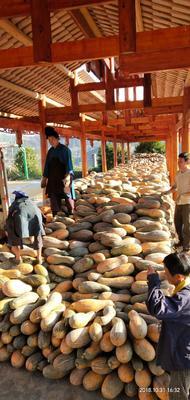 贵州省黔东南苗族侗族自治州丹寨县蜜本南瓜 6~10斤 长条形