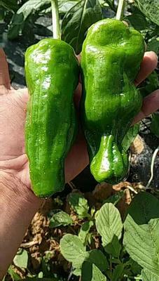这是一张关于鲜泡椒 10~15cm 靑色 微辣的产品图片