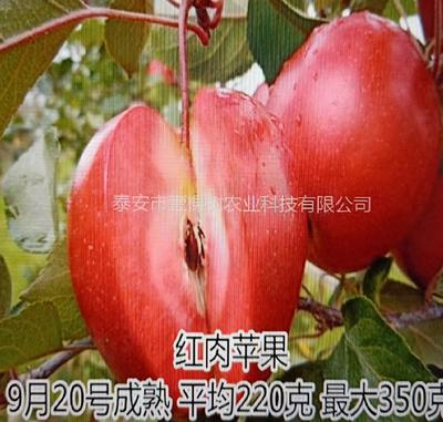这是一张关于红肉苹果树苗 1~1.5米的产品图片