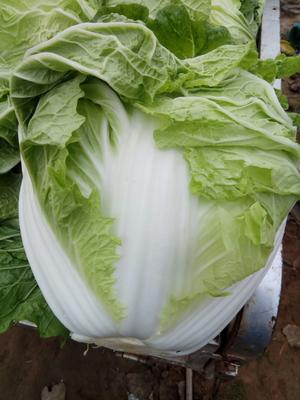 山东省菏泽市牡丹区秋白菜 6~10斤 净菜
