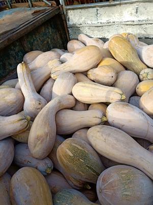 海南省海南省东方市金韩蜜本南瓜 6~10斤 长条形