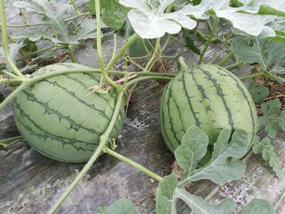 广东省汕尾市海丰县特小凤西瓜 有籽 1茬 9成熟 3斤打底