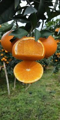 这是一张关于爱媛38号柑桔 7 - 7.5cm 4两以上的产品图片