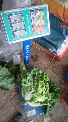 河北省沧州市泊头市夏阳白菜 2~3斤 净菜