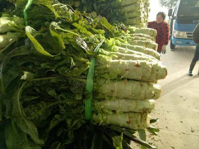 湖北省荆州市荆州区红叶香莴苣 40-50cm 1.0~1.5斤