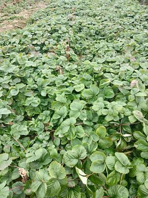 这是一张关于奶油草莓苗 地栽苗 10公分以下的产品图片