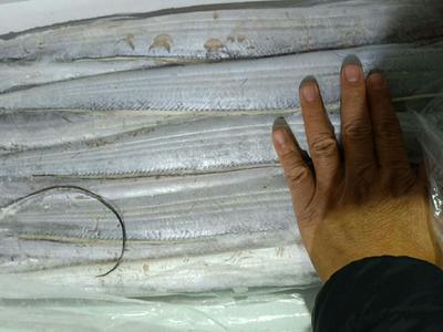 山东省滨州市沾化区舟山带鱼 野生 0.5公斤以下