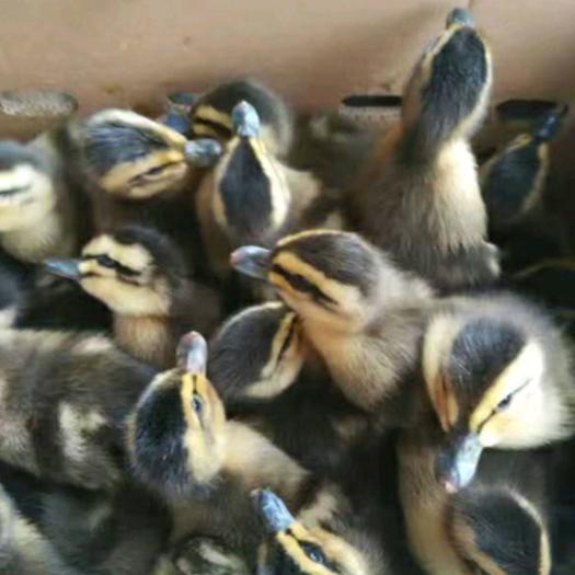 绿头野鸭苗 场家直销 广西区内五百只以上包运费 出壳包打疫苗 包运输损耗