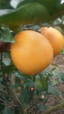 这是一张关于新宁脐橙 75 - 80mm 8两以上的产品图片