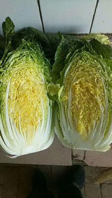 山东省青岛市即墨市黄心大白菜 3~6斤 毛菜