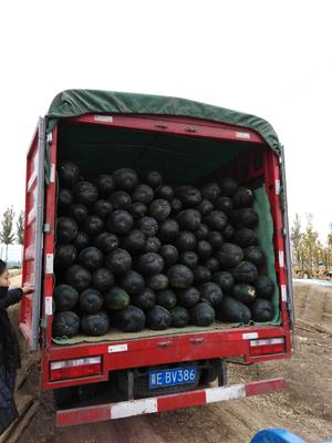 河北省邢台市隆尧县子弹头黑皮冬瓜 10斤以上 黑皮