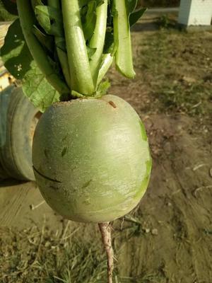 这是一张关于心里美萝卜 1~1.5斤的产品图片