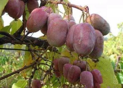 软枣猕猴桃苗  嫁接苗 易管理技术指导