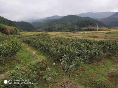 这是一张关于山茶花 50~80cm的产品图片