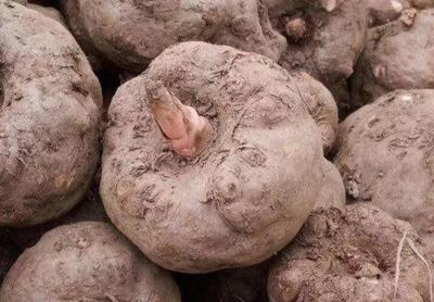 这是一张关于白魔芋的产品图片