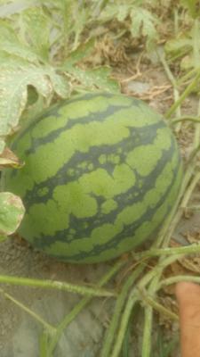 浙江省金华市永康市美都西瓜 有籽 1茬 9成熟 6斤打底